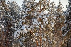 Pine tree branch covered with snow / winter. Pine tree branch covered with snow stock photography