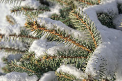 Pine tree branch covered with snow Royalty Free Stock Images