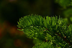 Pine tree branch of fir needles at dark colorful background Stock Photography