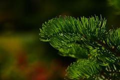 Pine tree branch of fir needles at dark colorful background Royalty Free Stock Photos