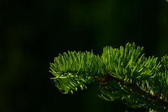 Pine tree branch of fir needles isolated at black background Royalty Free Stock Photos