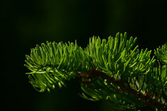 Pine tree branch of fir needles isolated at black background Stock Photography
