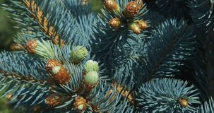 Pine tree branch. Fir tree, pine tree branch, close up of conifer cone blowing in wind stock footage