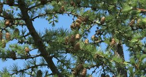Pine tree branch. Fir tree, Pine tree branch , Close up of conifer cone blowing in wind stock video footage