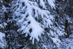 Pine tree branch covered in snow Royalty Free Stock Image