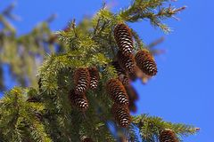 Pine tree branch with fresh cones Royalty Free Stock Photos