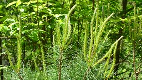 Pine tree branch with fresh sprouts gently swaying in breeze stock video footage