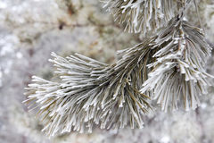 Pine-tree branch Stock Photos