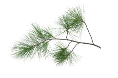 Pine tree branch. Green pine tree branch isolated on white background royalty free stock photography