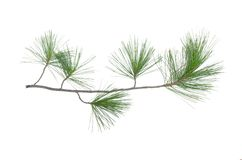 Pine tree branch. Green pine tree branch isolated on white background royalty free stock photo