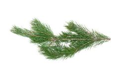 Pine tree branch. Green pine tree branch isolated on white background stock image