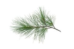 Pine tree branch. Green pine tree branch isolated on white background royalty free stock images
