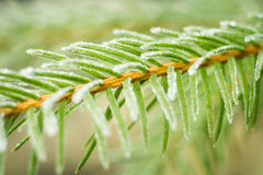 Pine tree branch in hoarfrost Stock Photography
