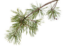 Pine tree branch isolated on white Royalty Free Stock Photography
