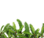 Pine tree branch. Stock Images