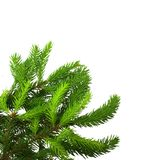 Pine tree branch. Royalty Free Stock Photo