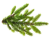 Pine tree branch Stock Photo