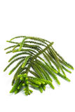 Pine tree branch Royalty Free Stock Photo