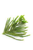 Pine tree branch Royalty Free Stock Images