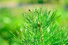 Pine tree branch with ladybird Royalty Free Stock Photography