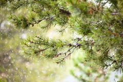 Pine tree branch in light snow Royalty Free Stock Photos
