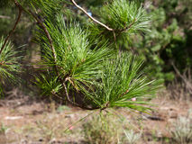 Pine tree branch. Long pine needles in focus, few small branches Royalty Free Stock Photography