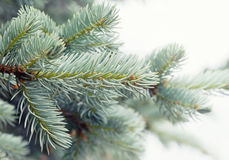 Pine tree branch macro view. soft focus, shallow depth of field Royalty Free Stock Photo