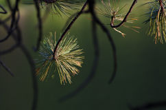 Pine Tree Branch in the Morning Light Royalty Free Stock Photos