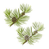 Pine tree branch with pine cones with snow vector Stock Image