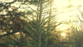 Pine tree branch. Pine needles. Green pine branch in morning light. Closeup stock video footage