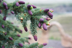 Pine tree branch with purple pine cones Stock Photos