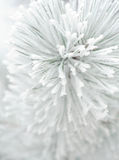 Pine tree branch in rime. Close up of fir tree branch branch covered in rime Royalty Free Stock Image