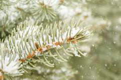 Pine Tree Branch. Selective focus on a pine tree branch covered with snow Royalty Free Stock Image