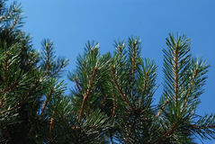 Pine tree branch on the sky background Stock Image