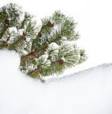 Pine tree branch with snow Stock Images