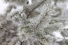 Pine-tree branch in snow Royalty Free Stock Photos