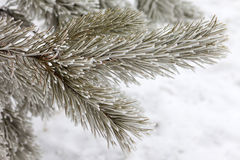 Pine-tree branch in snow Royalty Free Stock Images