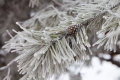 Pine-tree branch in snow Stock Photos