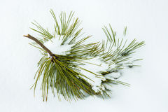 Pine tree branch on Snow. A piece of a branch from a pine tree laying in the cold Alberta snow Stock Photos