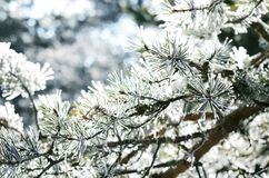 Pine tree branch with snow, winter background. Fir tree needles covered with snow Stock Images