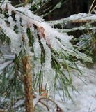 Pine tree branch and snow Stock Photo
