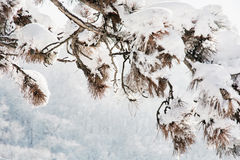 Pine tree branch in the snowy landscape Stock Photo