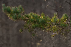 Pine tree branch in sunlight with a natural bokeh during sunset Royalty Free Stock Photo