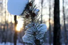 Pine tree branch on sunset Stock Images