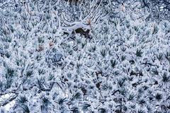 Pine tree branch under the snow. Royalty Free Stock Image