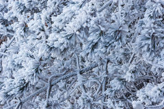 Pine tree branch under the snow. Stock Image