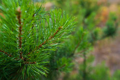 Pine tree branch with water drops Royalty Free Stock Photos
