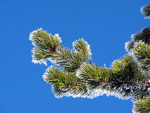 Pine tree branches Royalty Free Stock Photo