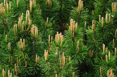 Pine tree branches. Detail background Royalty Free Stock Photography
