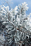 Pine tree branches Stock Photos